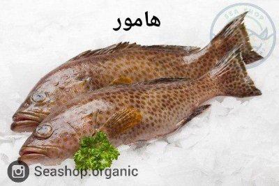 ماهی هامور – فروش بصورت کیلویی