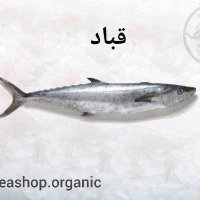 ماهی قباد – فروش بصورت کیلویی