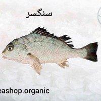 ماهی سنگسر فروش کلی وجزئی بصورت کیلویی