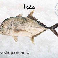 ماهی مقوا (صافی،قاضی) – فروش فله ای